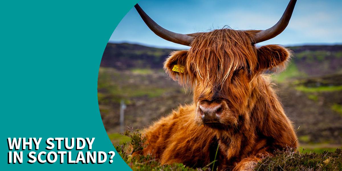 Scottish highland cow in field
